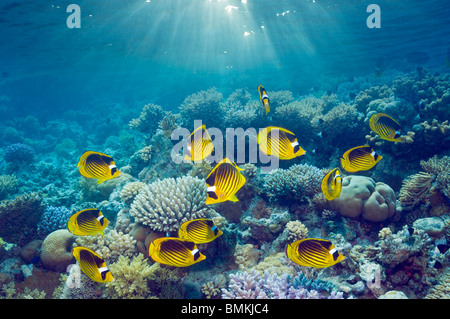 Red Sea racoon butterflyfish, swimming over coral reef in unusually large numbers.  Red Sea, Egypt. - Stock Photo