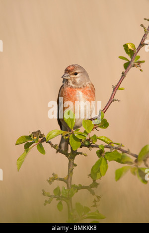 Eurasian Linnet (Carduelis cannabina) adult male, summer plumage, Norfolk, UK. - Stock Photo