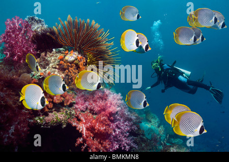 Panda butterflyfish with featherstars and soft corals on coral reef, woman diver in background.  Misool, West Papua, Indonesia.