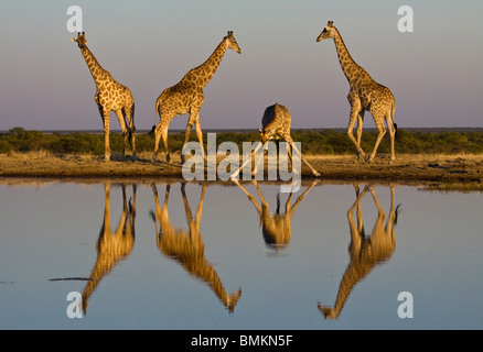 Giraffe at water hole, reflected in water, Etosha Pan, Namibia - Stock Photo