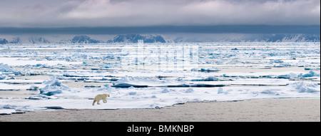 Polar Bear  walking on ice floe, Woodfjorden, northern Spitsbergen, Svalbard, Arctic Norway. - Stock Photo