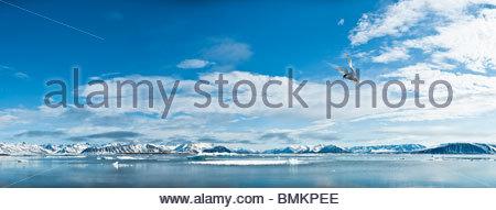 Adult Arctic Tern hovering / foraging in Woodfjorden, Northern Spitsbergen, Svalbard, Arctic Norway. - Stock Photo