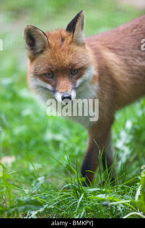 Red fox - Vulpes Vulpes - Stock Photo