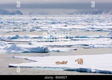 Polar Bears on ice floe, Woodfjorden, northern Spitsbergen, Svalbard, Arctic Norway. - Stock Photo