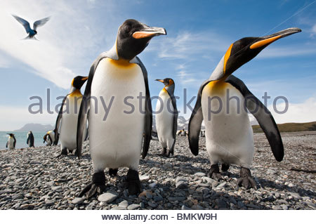 King Penguins on the beach at Salisbury Plain, with Antarctic Tern hovering. South Georgia, South Atlantic. - Stock Photo
