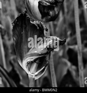 Black and white close-up of a dried dying tulip flowers. - Stock Photo