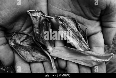 A collection of dried tulip petals being offered in open hands. - Stock Photo
