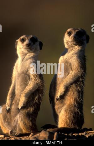 Africa, Namibia, Keetmanshoop, Meerkats (Suricate suricatta) stand as sentries by entrance to warren in Namib Desert - Stock Photo