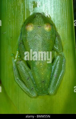 Demerara Falls tree frog, Ecuador, - Stock Photo