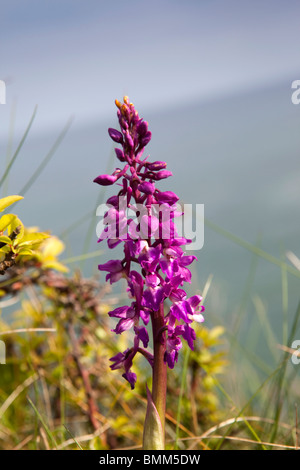 UK, England, Devon, Berry Head, Orchis mascula Early Purple Orchid growing on clifftop - Stock Photo