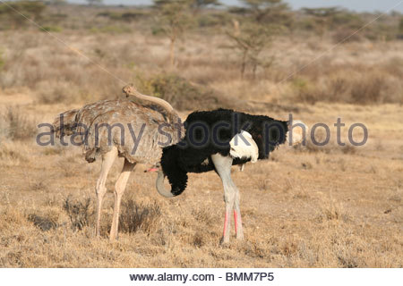 Pair of Somali Ostriches Struthio camelus molybdophanes or Struthio molybdophanes in part of their mating display - Stock Photo