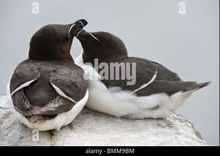 The Razorbill (Alca torda) pair bonding behaviour Farne Islands, Northumberland Coast, England, UK, Europe, June - Stock Photo