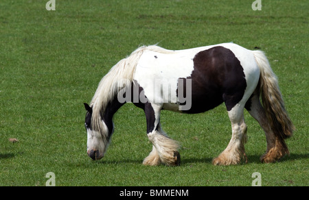 Brown & white Clydesdale Horse Grazing, Stranraer Cairnryan and Portpatrick, Dumfries and Galloway - Stock Photo