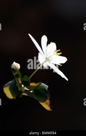 Thalictrum thalictroides anemone  Rue-anemone spring ephemeral plant buttercup family white flowers - Stock Photo