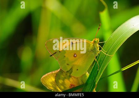 Orange Sulphur mating