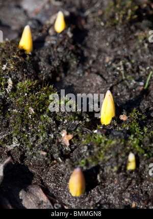 First plant seedlings emerging from the ground at early Spring - Stock Photo