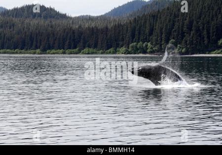 Humpback whale breaching off Icy Straits Point Alaska 4 - Stock Photo