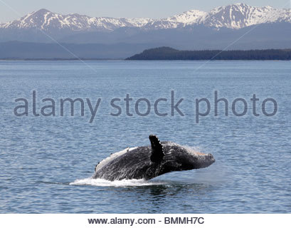 Humpback whale breaching off Icy Straits Point Alaska 2 - Stock Photo