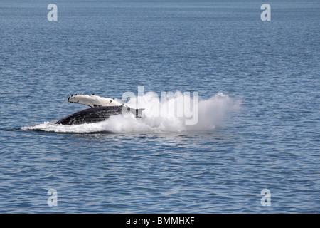 Humpback whale breaching off Icy Straits Point Alaska 5 - Stock Photo