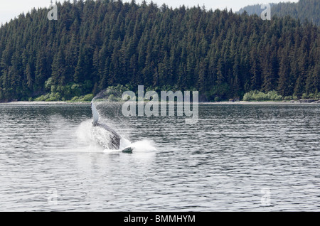 Humpback whale breaching off Icy Straits Point Alaska 6 - Stock Photo