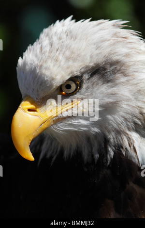 Magnificent Bald Eagle in Ketchikan, Alaska 2 - Stock Photo
