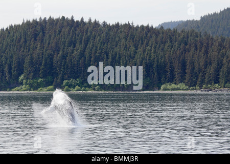 Humpback whale breaching off Icy Straits Point Alaska 7 - Stock Photo
