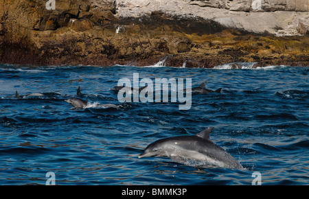 Breaching Common Bottlenose Dolphins (Tursiops truncatus), Saint Croix Port Elizabeth - Stock Photo