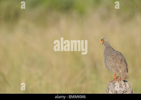 Partridge (Phasianidae) calling, Mapungubwe Game Reserve, Limpopo Province, South Africa - Stock Photo