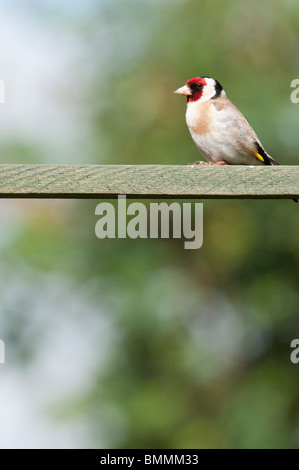 Goldfinch in an english garden. UK - Stock Photo
