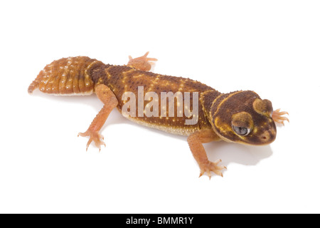 Smooth Knob Tailed Gecko - Stock Photo
