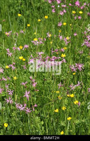 RAGGED ROBIN (Lychnis flos- cuculi) FLOWERING IN DAMP MEADOW - Stock Photo