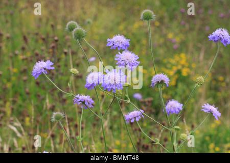 CORNFLOWER (Centaurea cyanus) PLANT IN FLOWER - Stock Photo