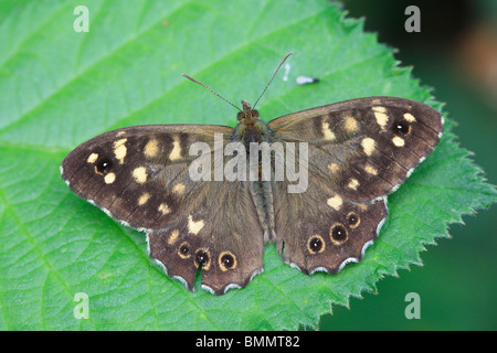 SPECKLED WOOD (Pararge aegeria) AT REST ON BRAMBLE LEAF - Stock Photo