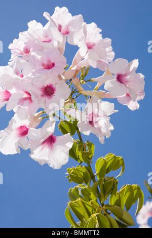 Pandorea jasminoides or the pandorea or bower vine