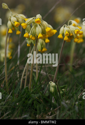 Cowslip (Primula veris) close up of flowers - Stock Photo