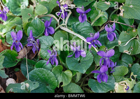 Sweet Violet (Viola odorata) close up of flowering plants - Stock Photo