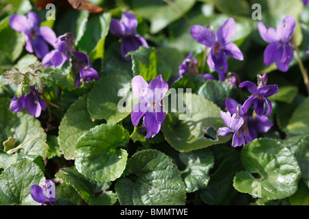 Sweet Violet (Viola odorata) close up of plants in flower - Stock Photo