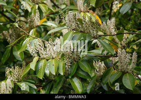 laurel (Prunus laurocerasus) tree in flower - Stock Photo
