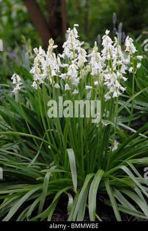 Spanish bluebell (Hyacinthoides hispanica la grandesse) plants in flower - Stock Photo