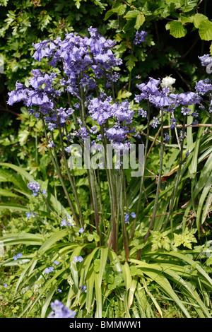 Spanish bluebell (Hyacinthoides hispanica) plant in flower - Stock Photo