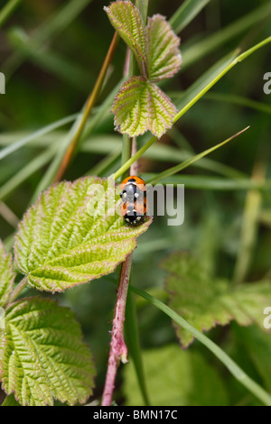 seven spot ladybird (Adalia 7 punctata) mating pair on bramble - Stock Photo
