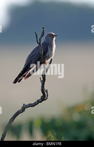 Cuckoo, Cuculus canorus, Single male perched on branch, Bulgaria, May 2010 - Stock Photo