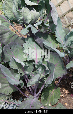 Brussels sprout (Brassica oleracea) Rubine close up of plant - Stock Photo