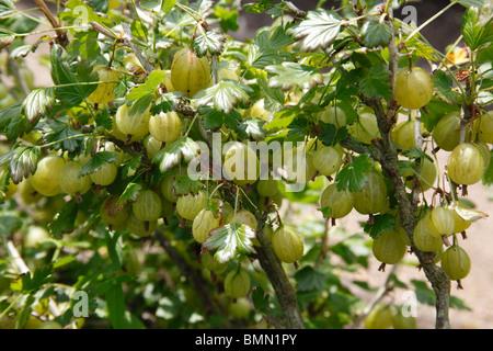 Gooseberry (Ribes uva-crispa) Ivicta close up of fruit - Stock Photo