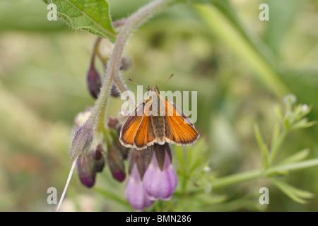 Large skipper (Ochlodes venatus) female at rest on comfrey flower - Stock Photo