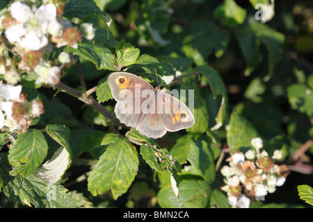 Meadow brown (Maniola jurtina) female on bramble - Stock Photo