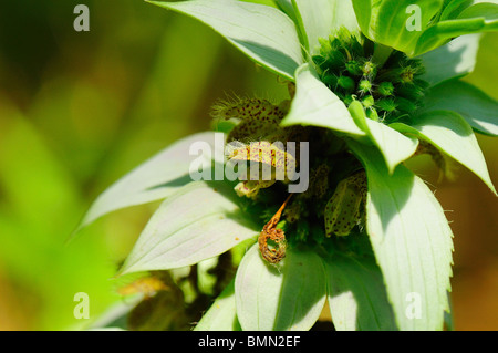 Spotted Beebalm - Stock Photo