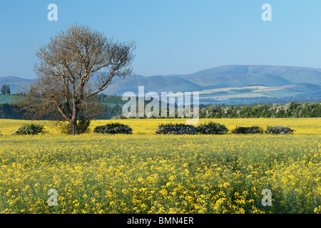Rapeseed field in Northumberland, England, UK. Cheviot hills in the background. - Stock Photo