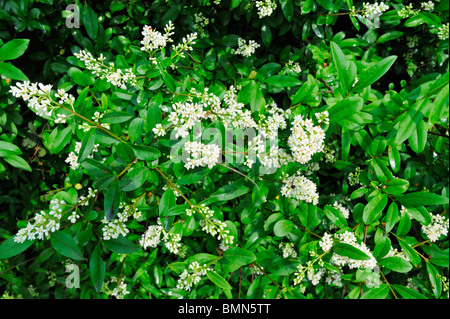 General view of the flowers and leaves of wild privet (Ligustrum vulgare) Wild privet flowering in June - Stock Photo