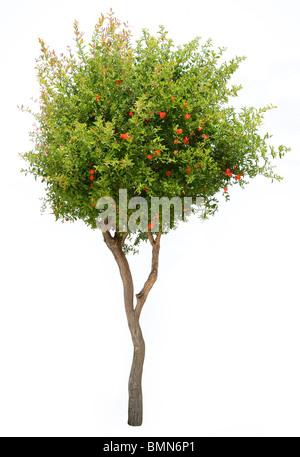 Pomegranate tree isolated on white background - Stock Photo